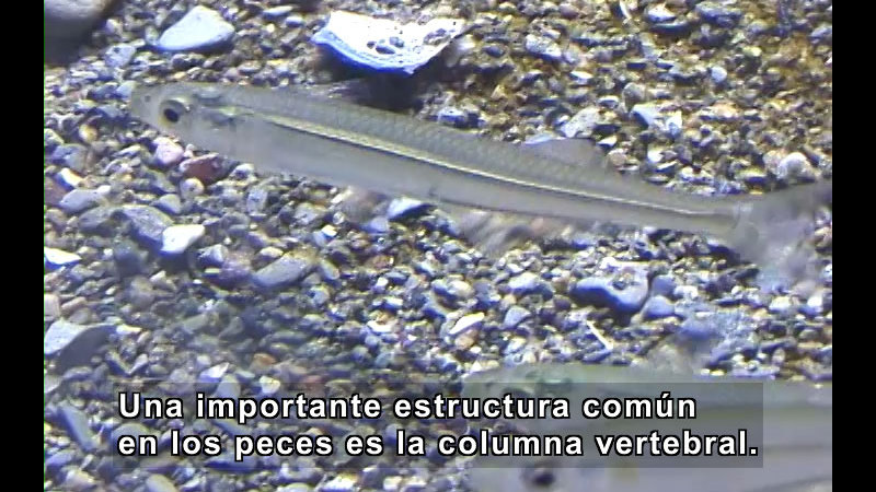 Still image from What Is a Fish? (Spanish)