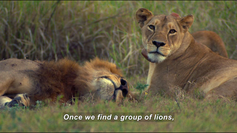 Still image from Tracking Lion Recovery in Gorongosa National Park