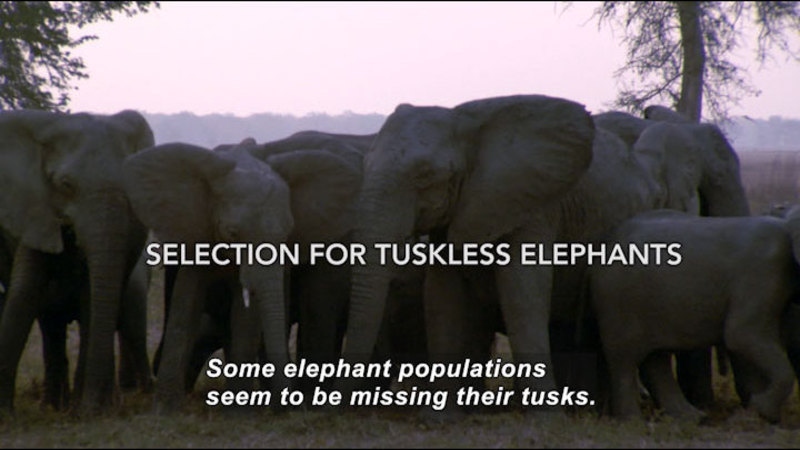 Still image from Selection of Tuskless Elephants