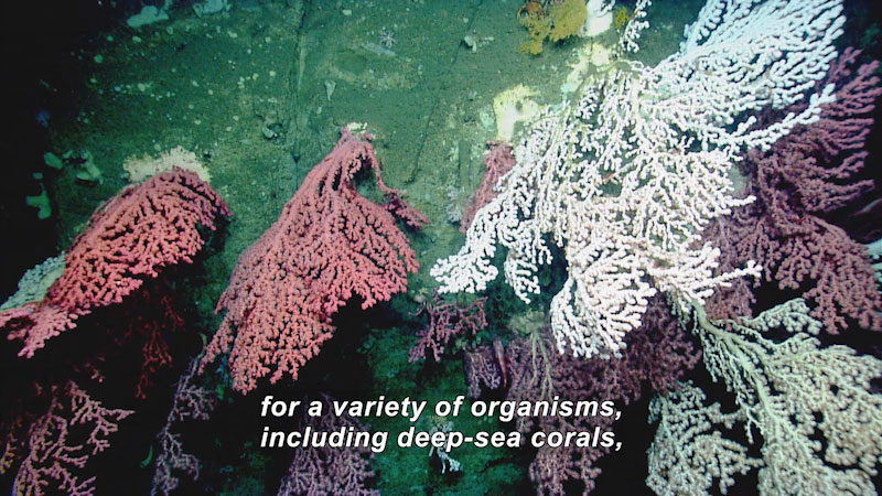 Still image from Habitat Exploration: Deep Sea Corals