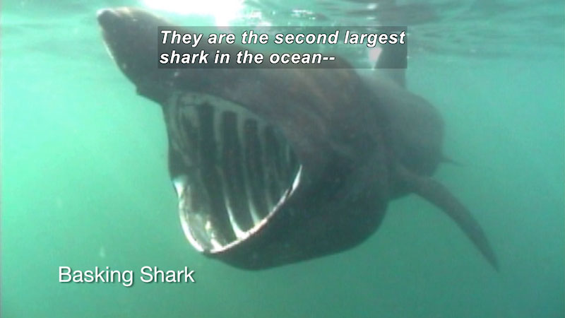 Still image from The Science Behind: Tagging Basking Sharks