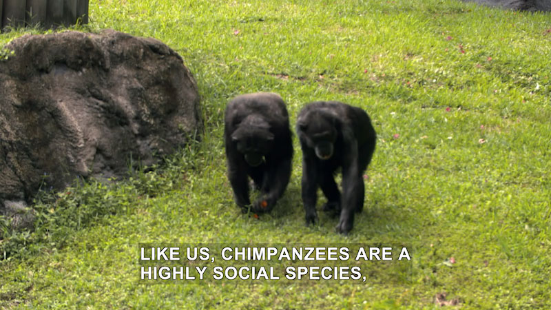 Still image from The Wildlife Docs: The Chimps Are Going Kookaburra