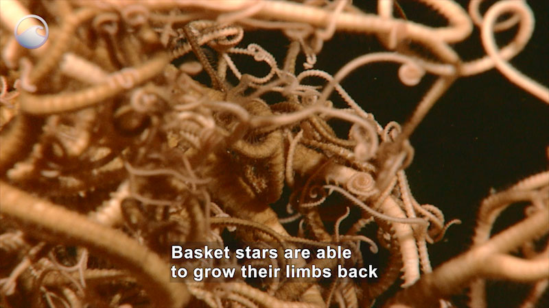 Still image from Creatures of the Deep: Basket Star