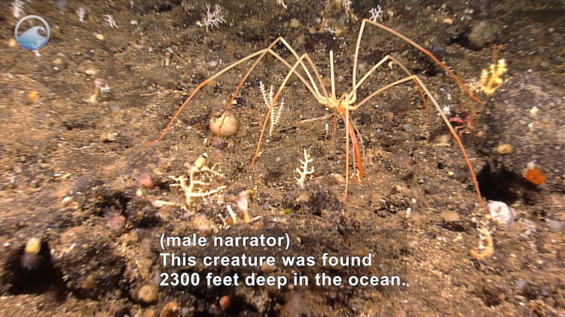 Still image from Creatures of the Deep: Sea Spider