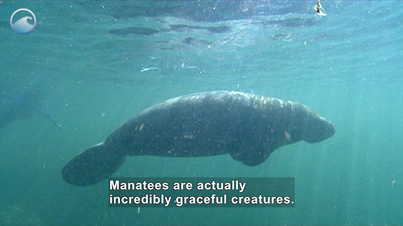 Still image from Endangered Ocean: Manatees