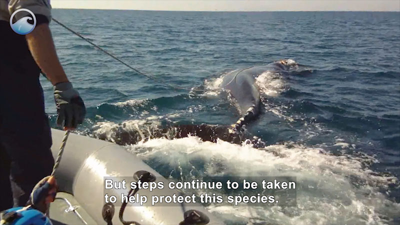 Still image from Endangered Ocean: North Atlantic Right Whales