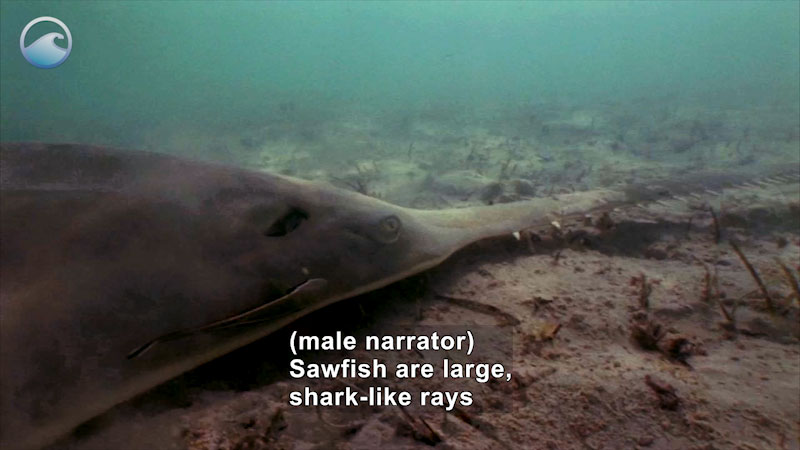 Still image from Endangered Ocean: Smalltooth Sawfish