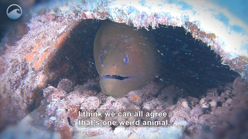 Still image from Weird Animals: Giant Moray Eel