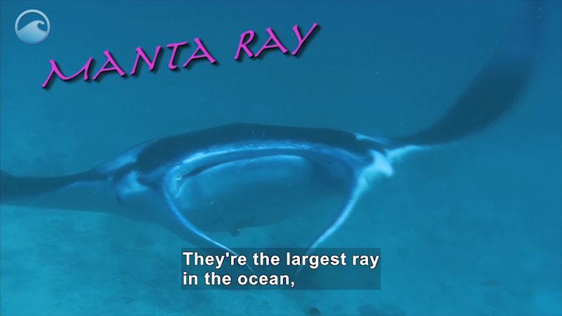 Still image from Weird Animals: Manta Ray
