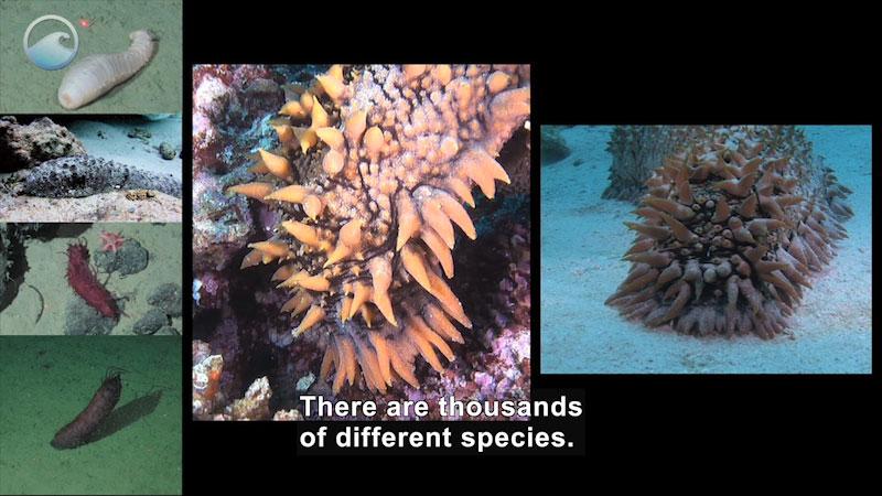 Still image from Weird Animals: Sea Cucumber