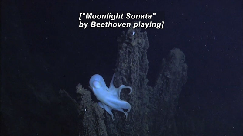 Still image from Dance of the Dumbo Octopus
