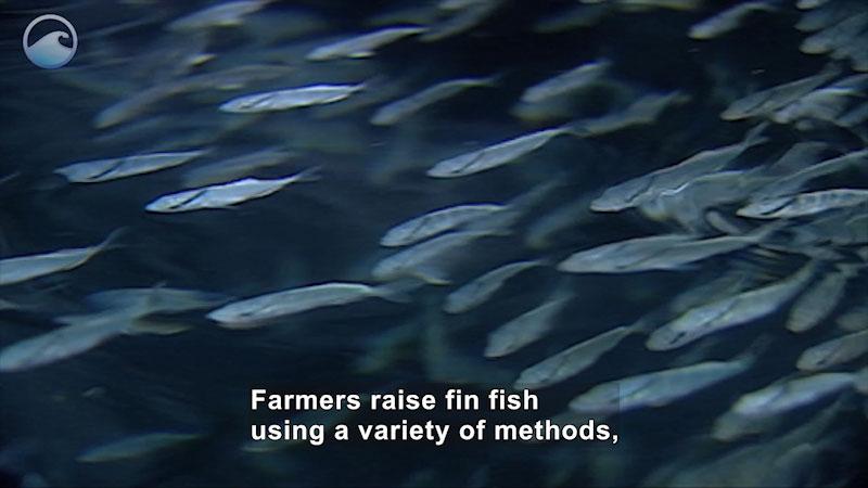 Still image from Fish on a Farm