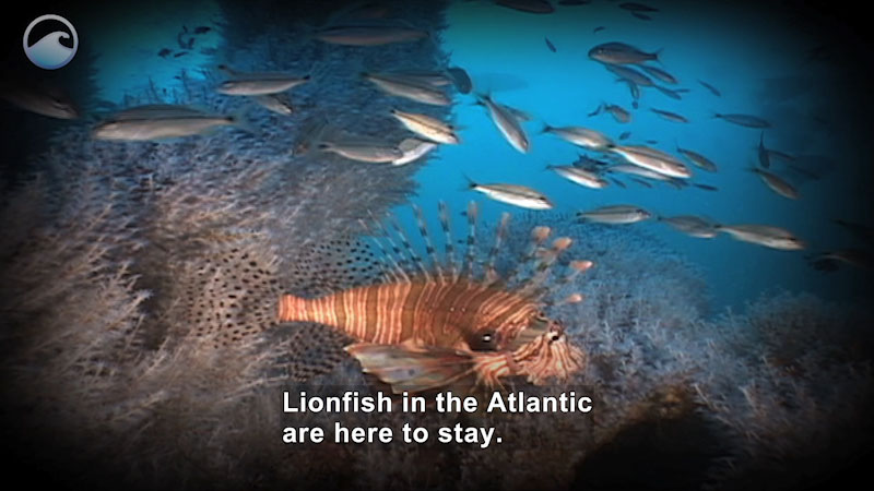 Still image from Lionfish on the Loose