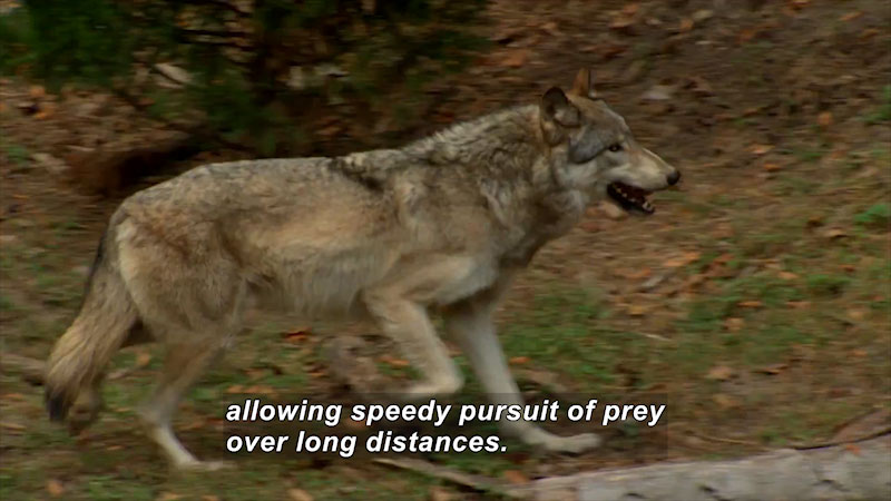 Still image from Saving a Species: Wolves
