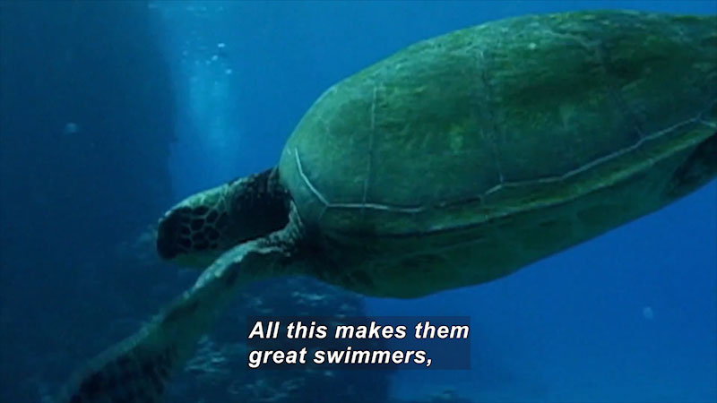 Still image from Saving a Species: Sea Turtles