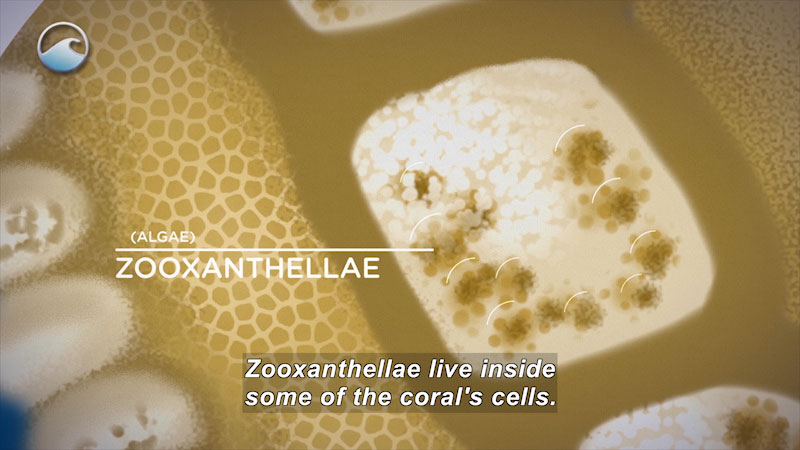Still image from Coral Comeback: The Coral and the Algae