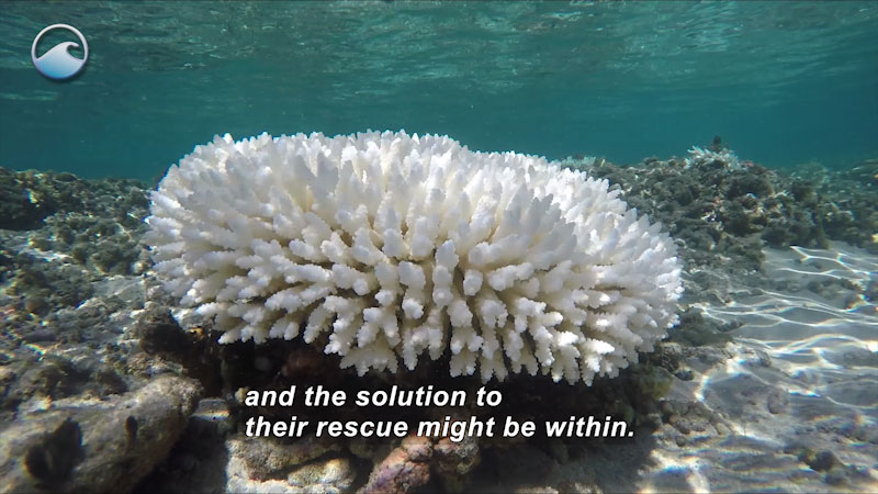 Still image from Coral Comeback: The Science of Super Corals