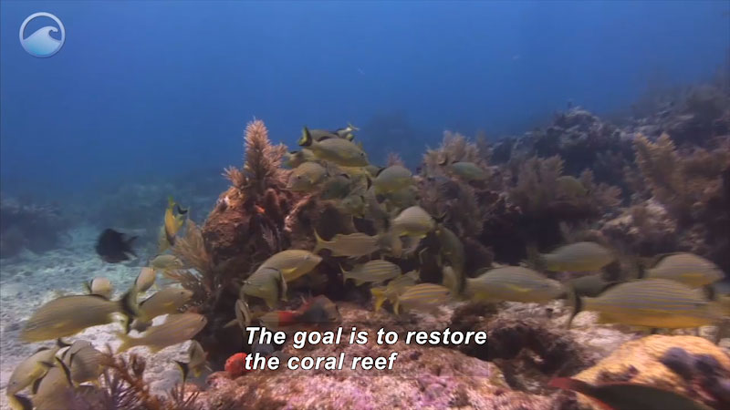 Still image from Coral Comeback: Restoring Coral Reefs