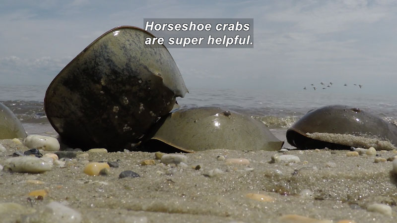 Still image from The Remarkable Horseshoe Crab: Part 1