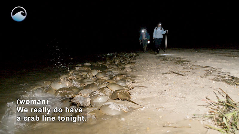 Still image from The Remarkable Horseshoe Crab: Part 3 (Why Count the Crabs?)