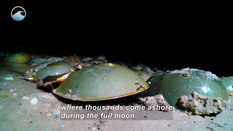 Still image from The Remarkable Horseshoe Crab: Introduction