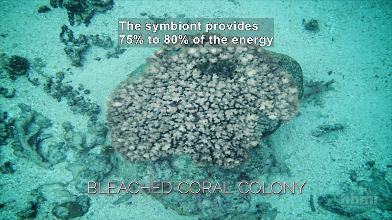 Still image from Coral Bleaching: A Breakdown of Symbiosis