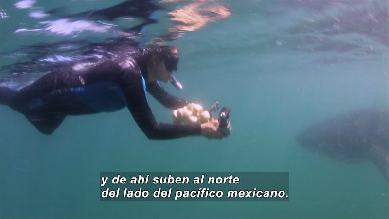 Still image from Inside the Sea: Magdalena Bay--Beauty and Wealth Without Limits (Spanish)