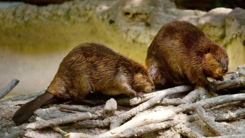 Still image from Beavers And How They Live