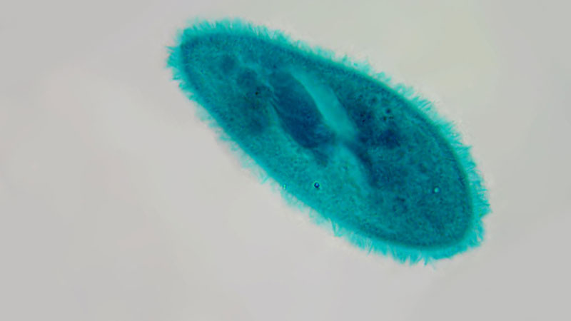 Still image from The Biology Of Ciliates