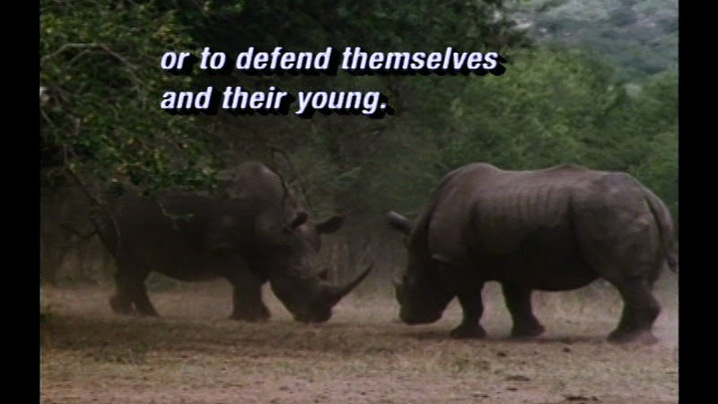Still image from Black & White Rhinos