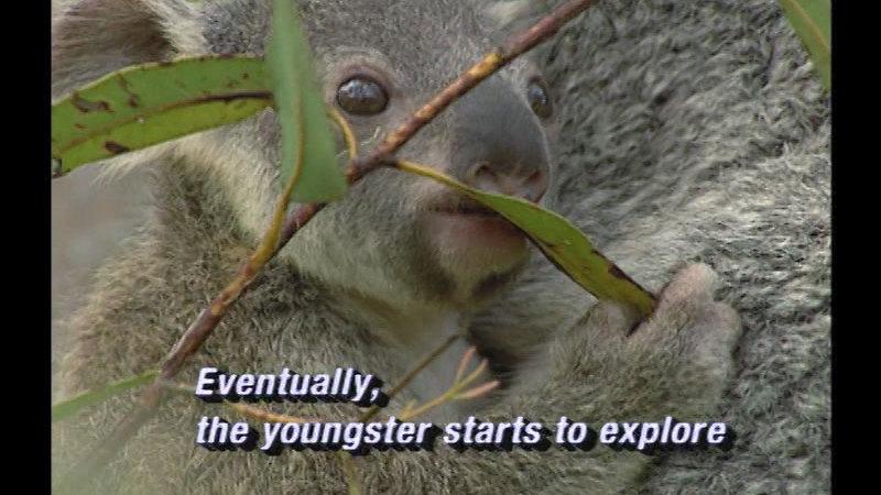 Still image from Koalas