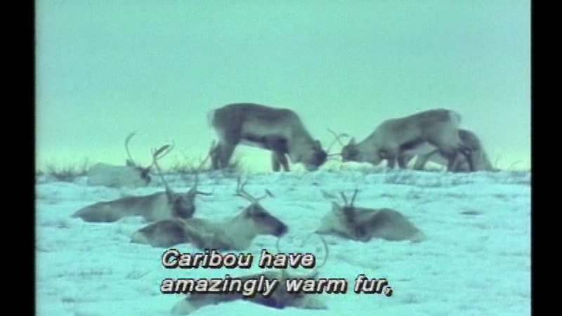 Still image from Inuit Climate And Food