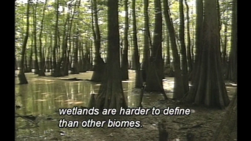 Still image from Wetland Biomes: Essential And Endangered