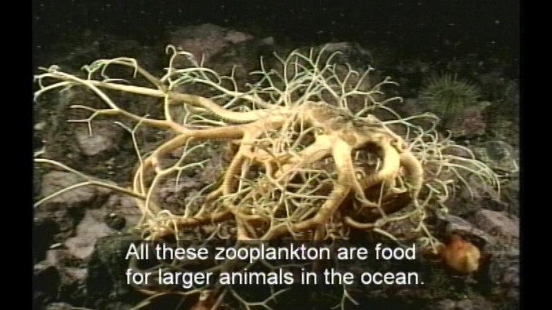 Still image from Plankton: Ocean Drifters