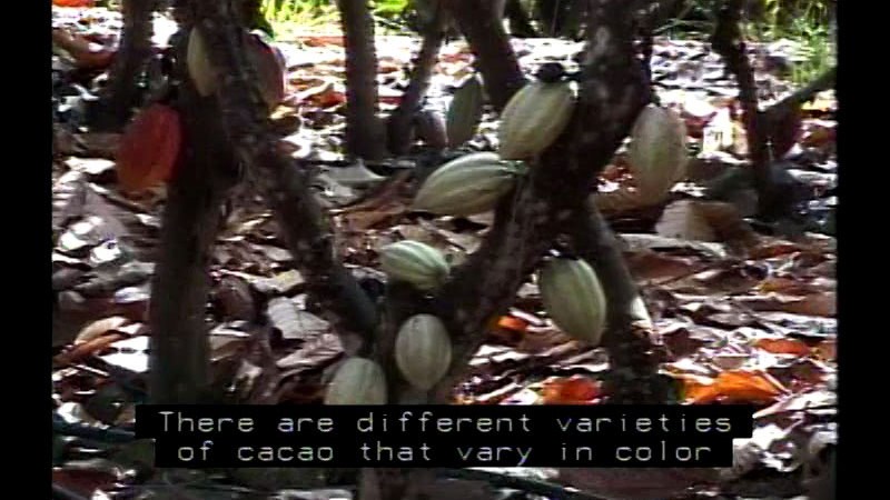 Still image from Chocolate