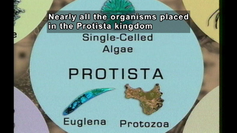 Still image from The Six Kingdom Classification: Part 2, Protista, Eubacteria, Archaebacteria, & Domains