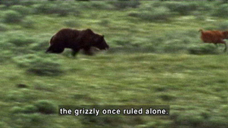 Still image from Competition & Cooperation: Bears Vs. Wolves