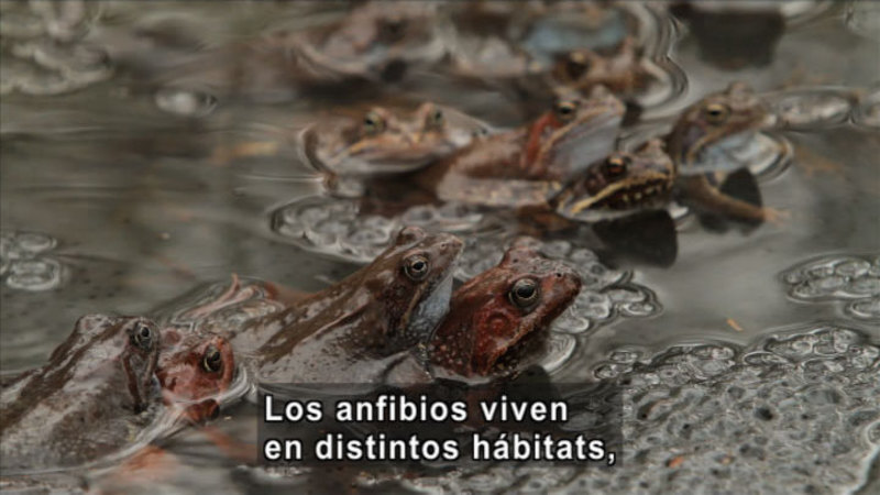 Still image from Science Video Vocab: Amphibian (Spanish)