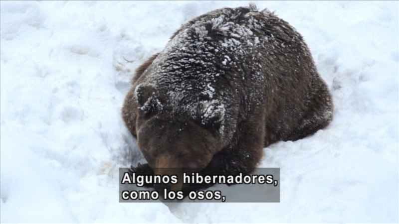 Still image from Science Video Vocab: Hibernate (Spanish)