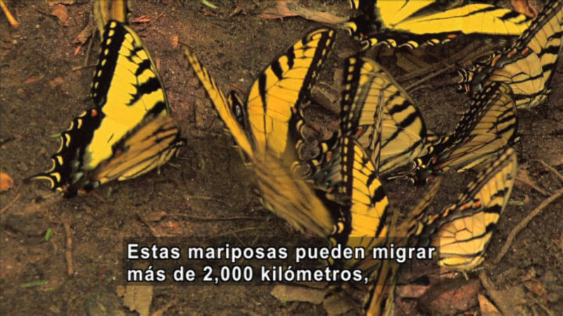 Still image from Science Video Vocab: Migrate (Spanish)