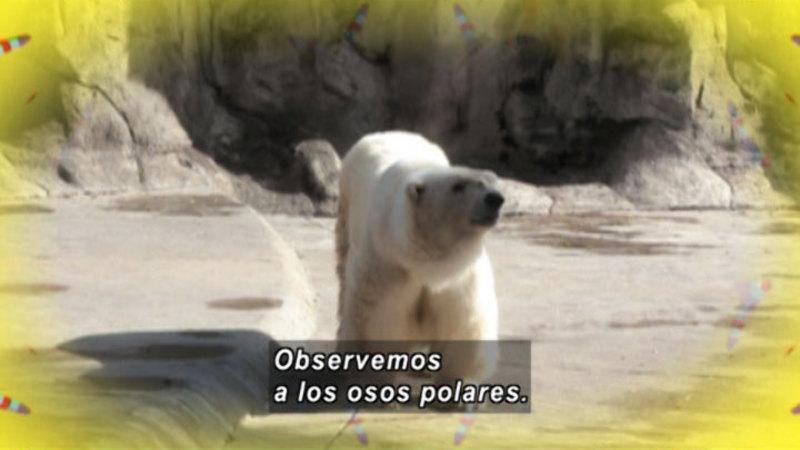 Still image from Animapaka: Polar Bear (Spanish)