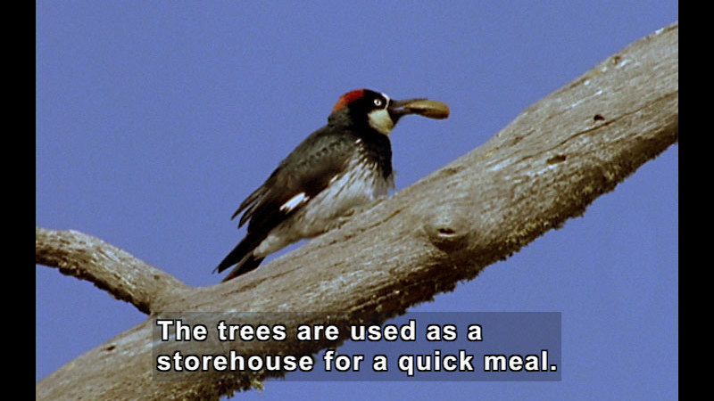 Still image from Wild Chronicles: Acorn Woodpeckers
