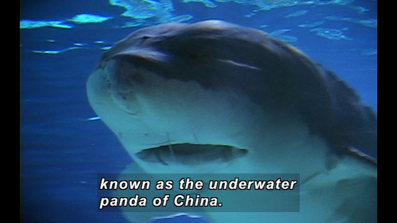 Still image from Wild Chronicles: China's Underwater Panda