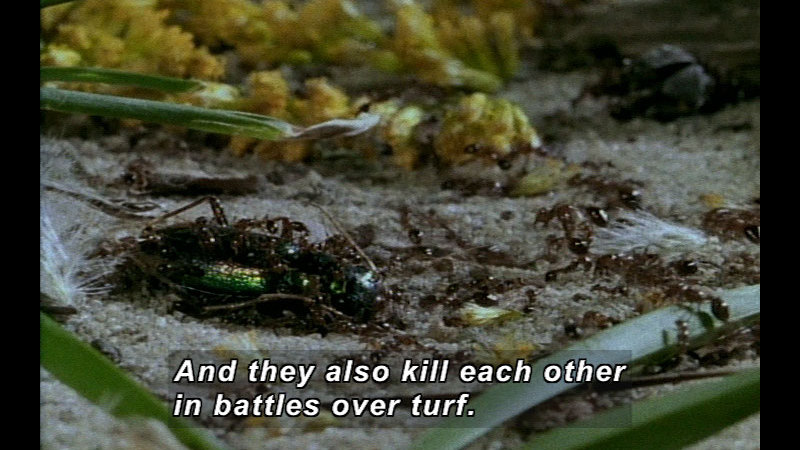 Still image from Wild Chronicles: Fire Ants