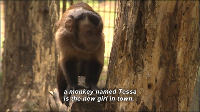 Still image from Wild Chronicles: Monkey Health And Behavior