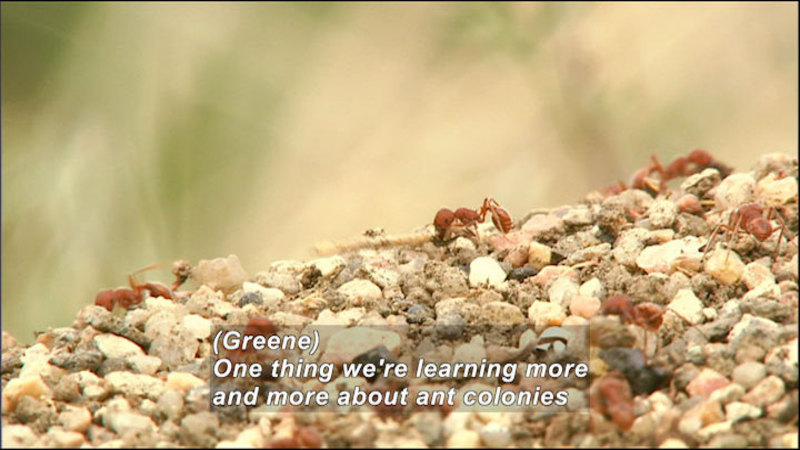 Still image from Wild Chronicles: Harvester Ants