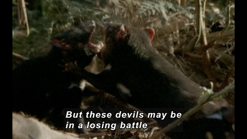 Still image from Wild Chronicles: Tasmanian Devil