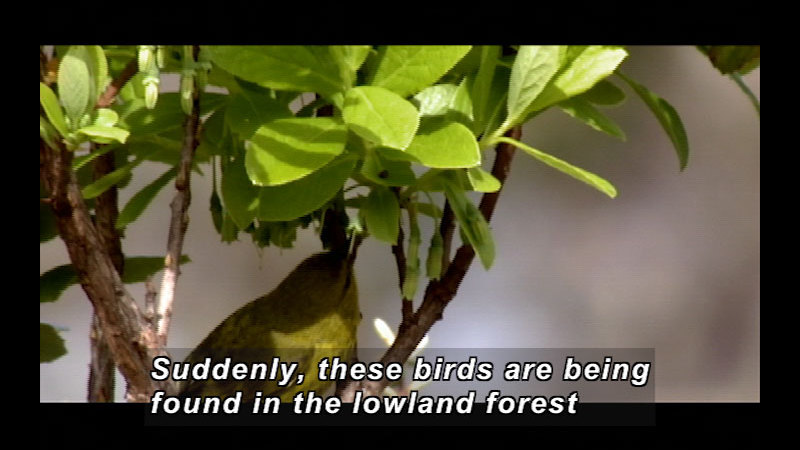 Still image from Wild Chronicles: Reappearance Of Hawaii's Honeycreeper