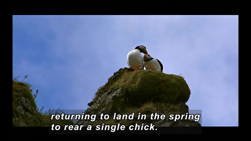 Still image from Wild Chronicles: Iceland's Atlantic Puffin