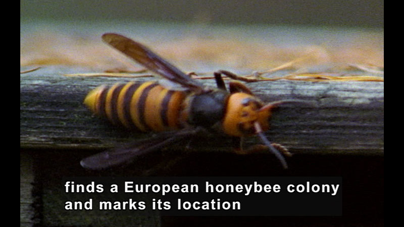 Still image from Wild Chronicles: Japan's Honeybees